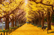 Tokyo Yellow Ginkgo Tree Street Jingu Gaien Avanue In Autumn