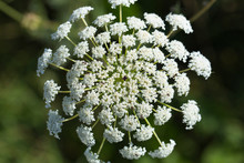 Daucus Carota, Wild Carrot, Bird's Nest, Bishop's Lace, Queen Anne's Lace, Is A White, Flowering Plant In The Family Apiaceae.