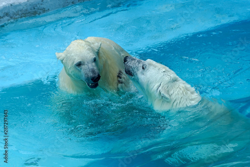 Poster Polar bear Sibling wrestling in baby games. Two polar bear cubs are playing about in pool. Cute and cuddly animal kids, which are going to be the most dangerous beasts of the world