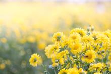 Yellow Chrysanthemum Flowers, ...