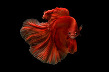 Siamese Fighting Fish Betta Ac...