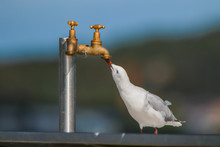 A Seagull Is Drinking From A Tab