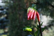 Orange Dinnerplate Dahlia Beginning To Bloom