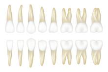 Type Tooth. Stomatology Medica...