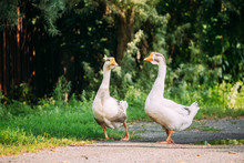 Two White Farm Geese Goose Wal...