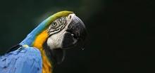 Pappagallo Tropicale Con Piume Blu Verdi E Gialle Su Fondo Sfocato Scuro