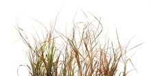 Dry, Withered Grass Isolated O...