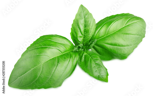 Fototapeta green plant seasoning basil isolated on white background