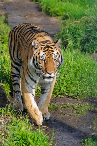 Photo Siberian tiger, (Panthera tigris altaica), walking along a dirt road with vegeta
