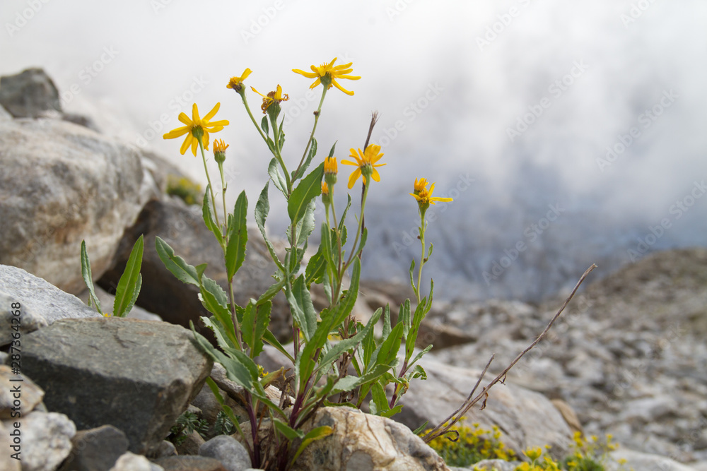 Fototapety, obrazy: Chamois ragwort, Senecio doronicum, in a rocky environment, in the background misty mountains