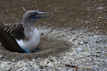 Blue Footed Booby Sitting On His Circulair Nest Made Of Of Bird Poo