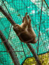 Hamadryas Baboon Hanging In The Cage