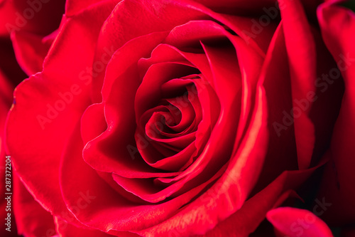 One red rose bud close-up. Bright festive floral background.