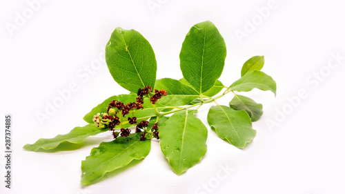 Photo  Whole Stem of Santalum Album with Leaves Stem and Fruit