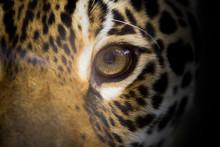 L'oeil Du Jaguar