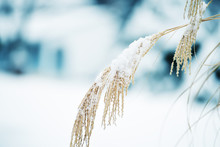 Decorative Gentle Ears In The Fluffy Snow In A Snowy Garden. Soft Selective Focus.