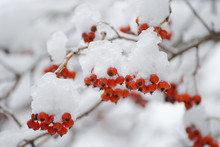 Bunches Of Red Rowan Berries I...