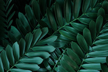 Dark Green Leaves Pattern Of Cardboard Palm Or Cardboard Cycad (Zamia Furfuracea) Evergreen Plant Native To Mexico, Abstract Nature Green Background.