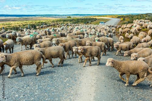 Sheep crossing the road in Tierra del Fuego in Argentina