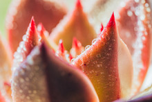 Close-up Of Succulents And Water Drops,Echeveria Lauixlindsayana