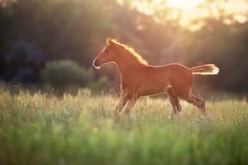 Beautiful red foal run and fun on spring green sunrise field