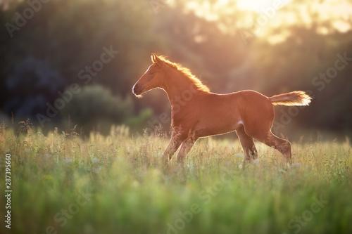 Fotografía  Beautiful red foal run and fun on spring green sunrise field