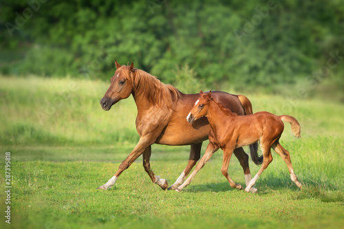 Fotomural  Red mare and foal run on spring green  meadow