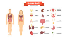Human Anatomy Concept. Female And Male Body