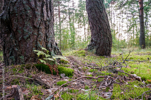 Acrylic Prints Roe moss and curved pine in a pine forest