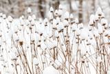 Fototapeta Kawa jest smaczna - snow covered plants in a winter garden
