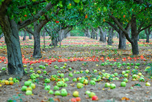 Fallen Apples Laying On The Gr...