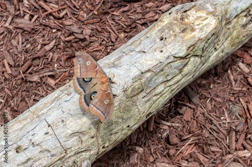 Photo A closeup view of a Polphemus moth resting on a white log on the ground in Missouri