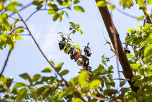 Large Group Of Fruit Bats Sleeping Hanging In Tree