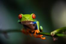 Red-eyed Tree Frog (Agalychnis Callidryas), Sarapiqui, Heredia Province