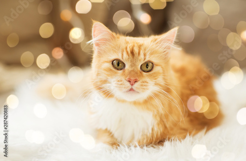 pets, christmas and hygge concept - red tabby cat on sofa with sheepskin at home Canvas Print