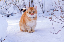 Beautiful Red-haired Green-eyed Cat Sitting In The Snow On A Sunny Winter Day