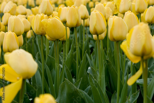 Tuinposter Bloemenwinkel Field with tulips Netherlands. Dutch landscape/ Agriculture/ Bulbs