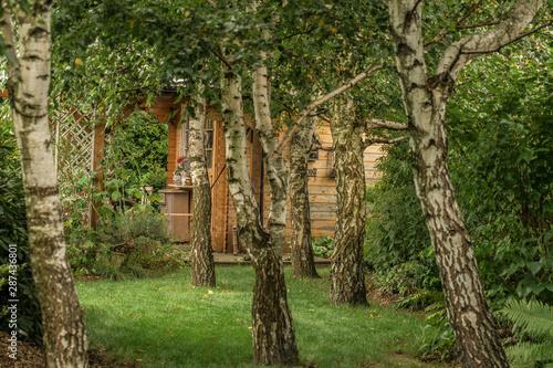 Brzozowy zagajnik w ogrodzie - 287436801
