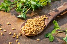 Fenugreek Seeds On A Spoon With Fresh Fenugreek Plant