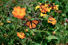 Monarch Butterfly In A Wildflo...