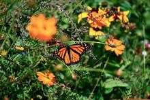 Monarch Butterfly In A Wildflower Field