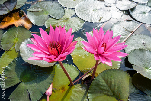 Poster de jardin Nénuphars Close-up on top of two red lotus flowers
