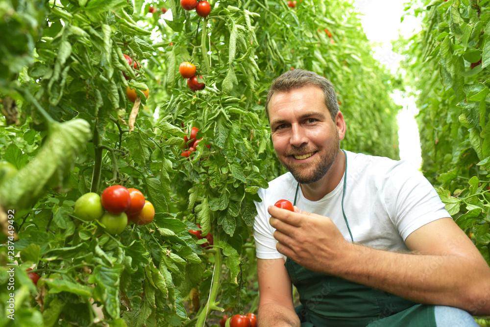 Fototapeta Bauer im Gewächshaus bei der Ertne von reifen Tomaten und Kostprobe // Farmer in the greenhouse harvesting ripe tomatoes and tasting