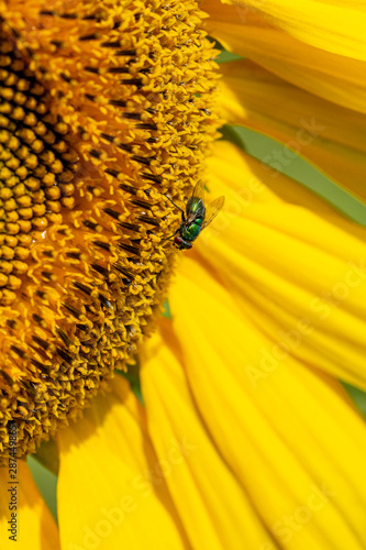 Green bottle fly feasting on pollen from a sunflower Tablou Canvas