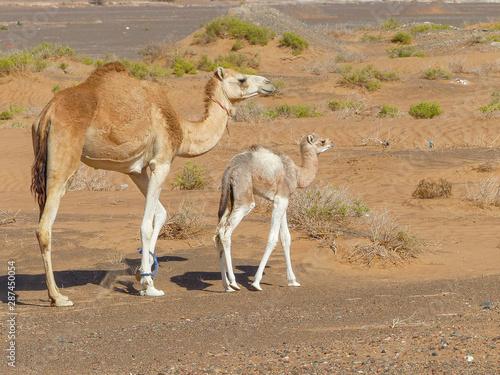 Poster Kangoeroe Dromedary at (Camelus dromedarius) Wahiba Sands (Rimal Al Wahiba, Ramlat al Wahiba, Wahiba Sands, Scharqiyya Sands) Sultanate of Oman