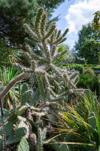 Photo Cactus Cylindropuntia fulgida