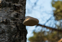 Tinder Fungus On A Birch In A Swamp Close-up