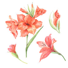 Set Of Red Gladiolus Flowers Drawing Watercolor On A White Background