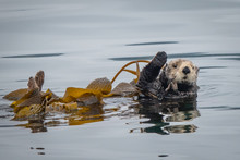 A California Sea Otter (Enhydra Lutris) Floats On Its Back In A Kelp Bed Along The Central Coast Of California In Monterey Bay, Near Big Sur And Carmel.