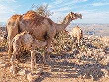 Dromedary-keepers (Camelus Dro...